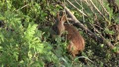 Marsh Rabbit feeding in wetlands
