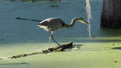 Great Blue Heron missed a fish