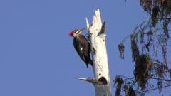 Pileated Woodpecker feeds in Wetlands