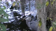 Great Blue Heron is trying to swallow a small turtle