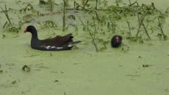 Common Gallinule feeds its chicks in swamp