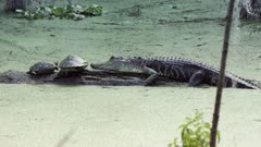 Young american alligator basking with turtles on a log
