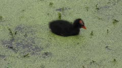 Common Gallinule chick in swamp
