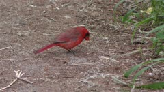 Northern Cardinal bird feeding