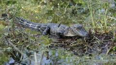 Small American Alligator in swamp