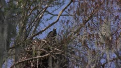 Bald Eagle chick in a nest