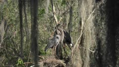 Great Blue Herons mating in the nest