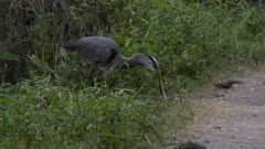 Great Blue Heron trying to swallow a snake