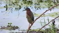 Green Heron perched in wetlands