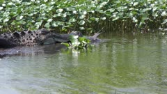 American Alligator downing a large fish in wetlands