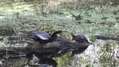 anhinga pokes a turtle in wetlands