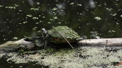 Small turtle basking on a log