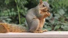 fox squirrel eating corn