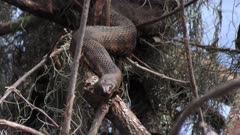 Large Brown Snake basking in Florida wetlands