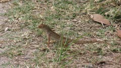 Common Lizard on the Ground