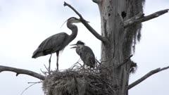 Great Blue Herons in the Nest. Adult and a Baby