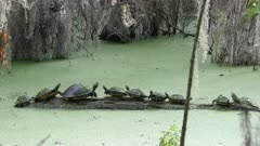 Aquatic Turtles called Florida Cooter basking on a log