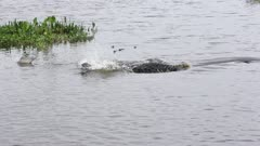 American Alligator missed the fish