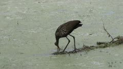 Limpkin looking for snail in Florida wetlands