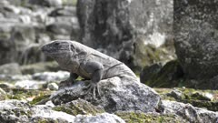 iguana basking on the rocks