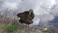 limpkin grooming its feathers