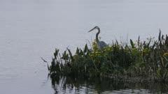 Great Blue Heron fishing in lake