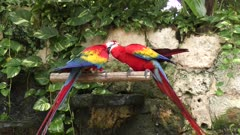 Scarlet Macaw, the red parrots perching