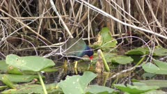 Purple Gallinule (Porphyria martinica) feeds