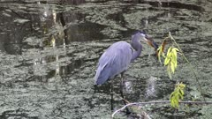 Great Blue Heron Feeding in wetlands