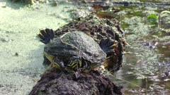 Florida Cooter basking on a log