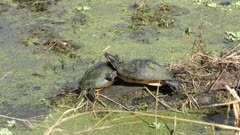 two turtles basking on a log