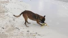 Dog peeling a coconut on a beach