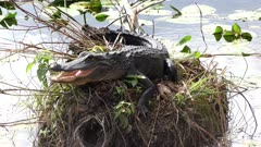 young alligator basking in Florida wetlands