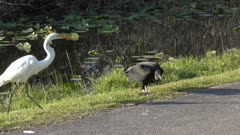 Black Vulture and White Egret eating a fish