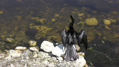 Anhinga drying up its feathers in Florida wetlands