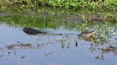 Large Bull Male Alligator Calling for mate