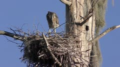 Young great blue heron in a nest