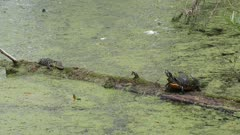 Turtle and baby alligator basking on a log