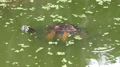 Florida Cooter in the swamp