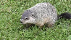 Groundhog eating some grass