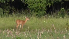 White tailed young  deer feeding  on the farm field