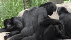 Black Spider Monkey group resting on the rocks