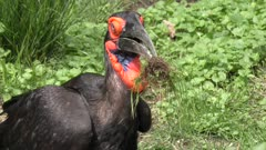 Southern Ground Hornbill with some grass in its beak
