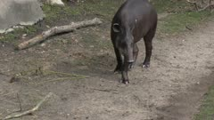 South American tapir walking