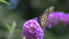 monarch butterfly feeding on pink flowers