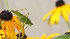 Leaf Grasshopper on a yellow flower