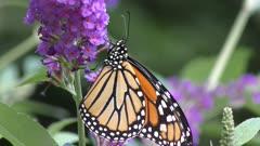 monarch butterfly feeding on pink flowers