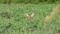 White tailed young  deer feeding  in the farm field