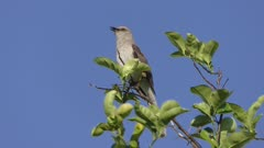 Northern Mockingbird singing on a top of tree