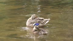 Mallard duck female and a duckling grooming their feathers